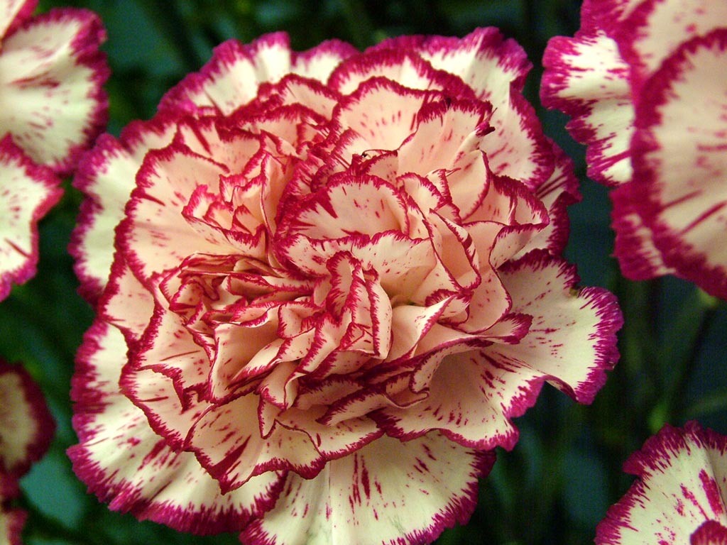 The funeral flower michelle jester carnations2 the flowers avenue biocorpaavc