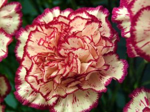 carnations_2 the flowers avenue.com